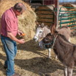 Dan Needles feeding the donkeys
